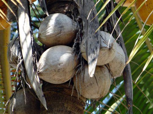 coconuts tree-dried cocos nucifera