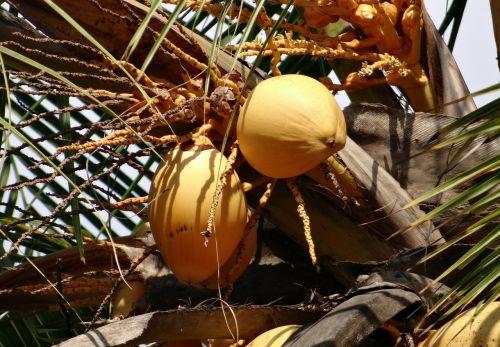 coconuts malayan cocos nucifera