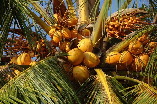 coconuts  red  malayan