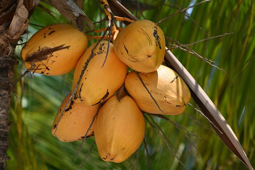 coconuts  nature  tropical