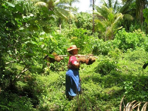 coconuts harvest traditionally