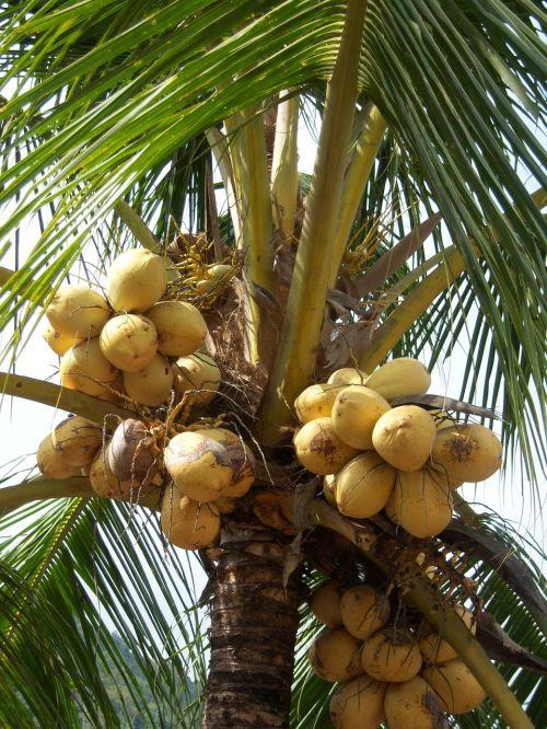 kokosai,delnas,girnas,karibai,Jamaika,kokoso medis,kokoso,egzotiškas,kokoso pluoštai,palmių žiedas,šventė,atogrąžų,tropikai,gamta,vasara,rojus,gražus,didelis,nesubrendusio,medis