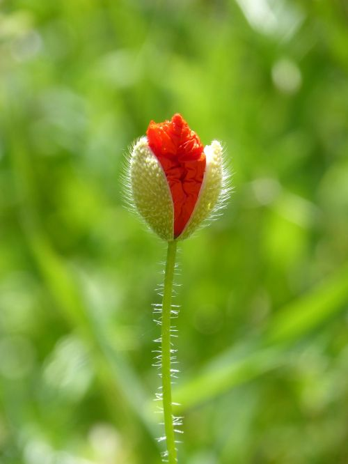 cocoon poppy ababol