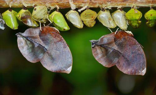 cocoons butterflies larva