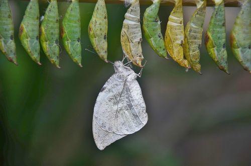 cocoons larva larvae