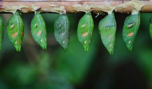 kokonai,žalias,lerva,lervos,vabzdžių lervos,makro,gamta,parides iphidamas,drugelis,papilionidae