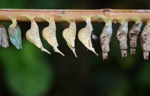 kokonai,balta,lerva,lervos,vabzdžių lervos,makro,gamta,parides iphidamas,drugelis,papilionidae