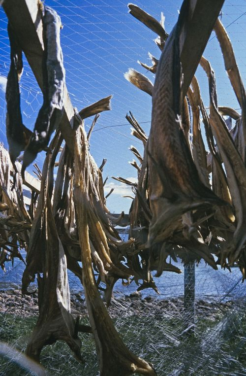cod clipfish drying