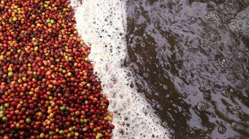 coffee processing coffee wet process