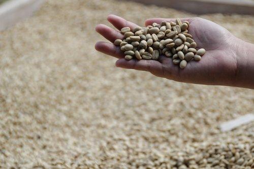 coffee  indonesian coffee  coffee farm