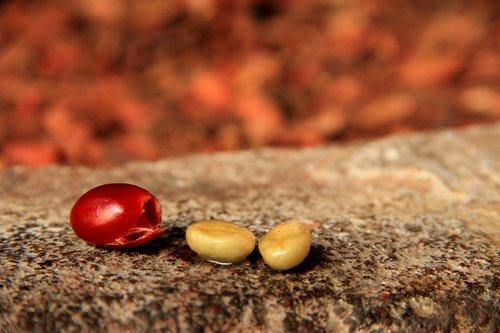 coffee  plant  pulp