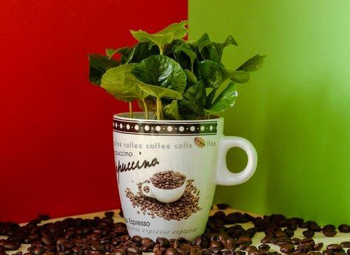 coffee  coffee plant  coffee beans