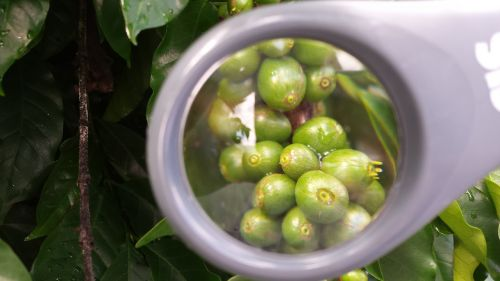 coffee magnifying glass plant