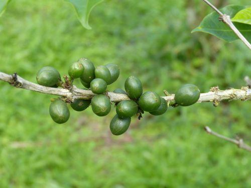 coffee beans coffee berries