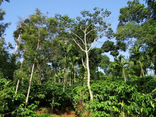 coffee plantation hill slope shady trees