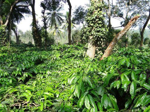 coffee plantation coffea robusta ammathi