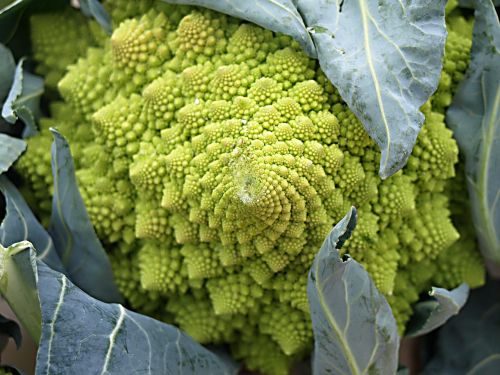 col brussels brassica oleracea