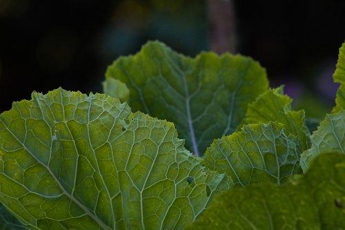 col  vegetable  healthy