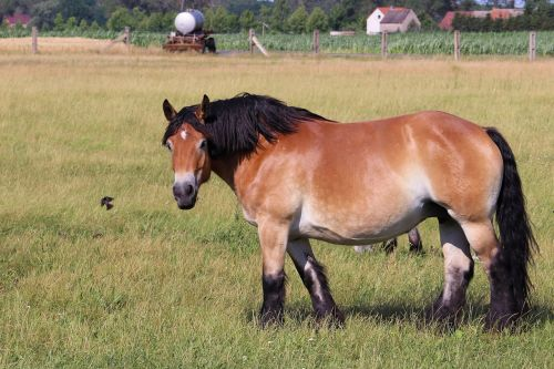 cold blooded animals horse kaltblut
