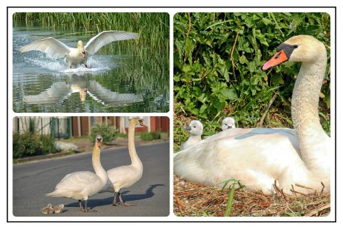 collage photo collage swans