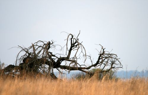 Collapsed Dead Tree