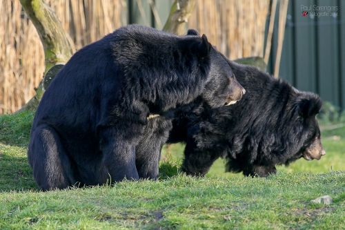 collar bear black bear bear
