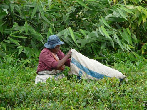 collection tea leaves mauritius