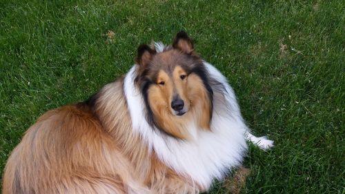 collie tricolor dog