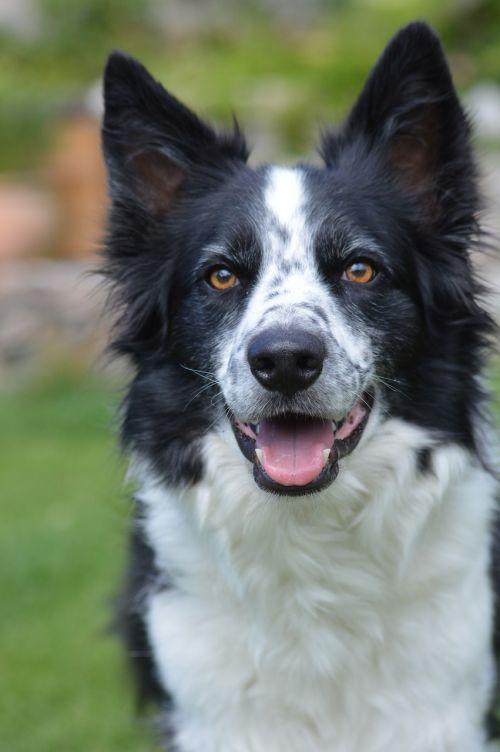 collie dog spotty