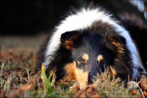 collie eyes autumn