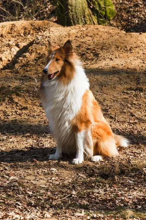 collie dog sitting