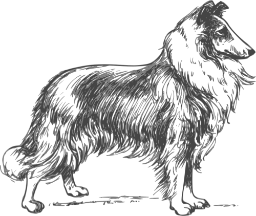 collie breed dog