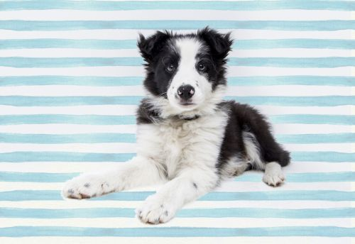 Collie Dog Pup