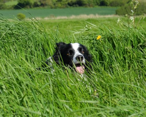 collie in grass facing camera