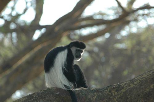 colobus monkey africa colobus