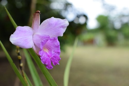 colombia  flowers  orchid