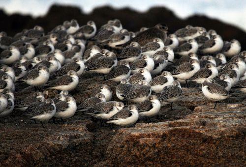 Colony Of Sleeping Birds