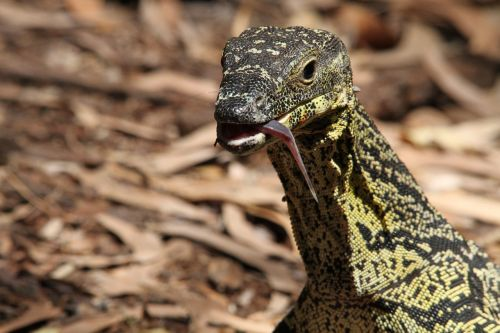 color monitor varanus varius monitor lizards