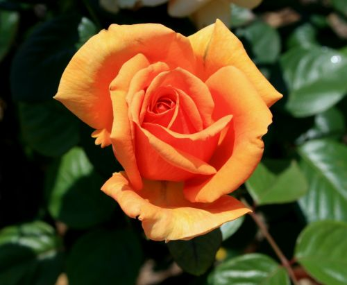 Color Of Sunset Rose