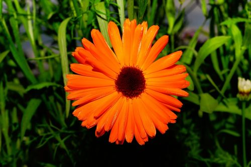 color orange flowers chrysanthemum