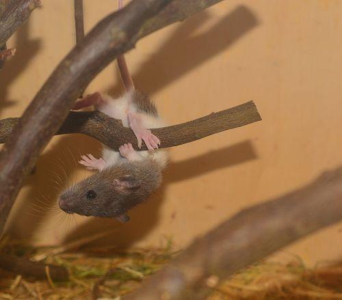 color rat rat animal