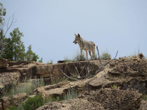 colorado coyote desert