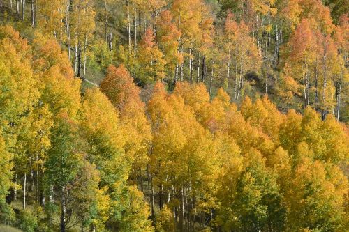 colorado aspen trees fall color