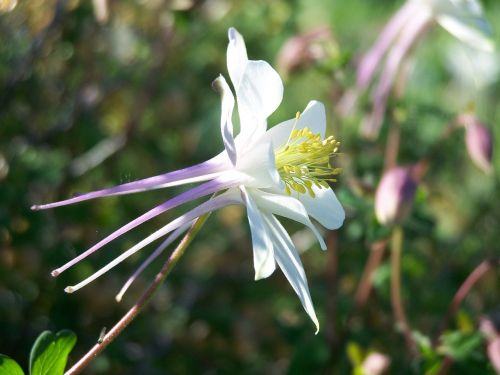 colorado blue columbine flower floral