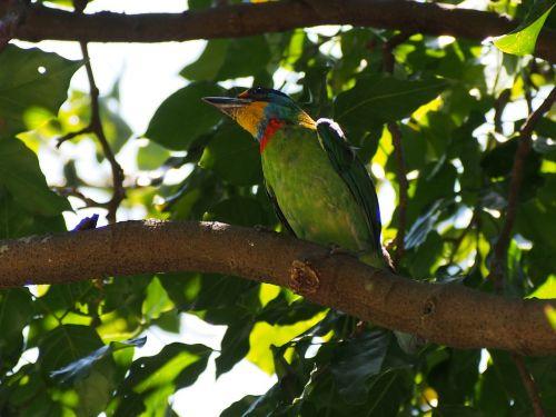 colored birds quasi woodpecker monk