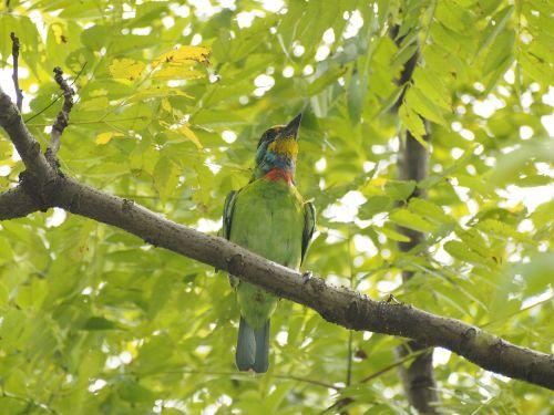 colored birds monk quasi woodpecker