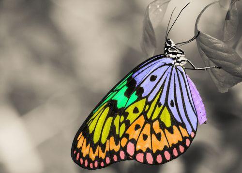 spalvinga,vabzdys,drugelis,gyvūnas,sparnai,lapai,juoda ir balta,gamta,Bokeh
