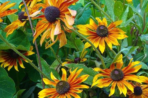 colorful colorado sunflowers  sunflowers  flowers