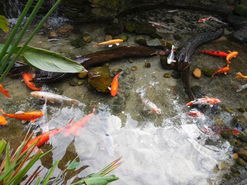 colorful fishes fish pond fishes