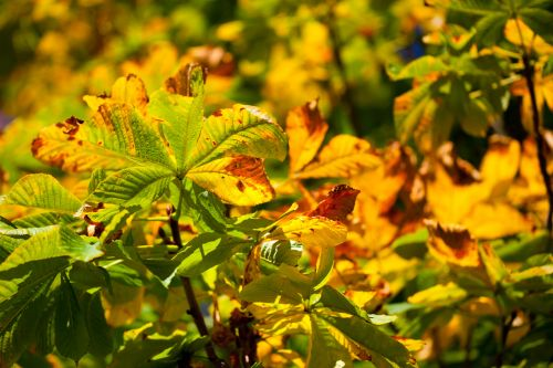 Colorful Horse Chestnut Leaves